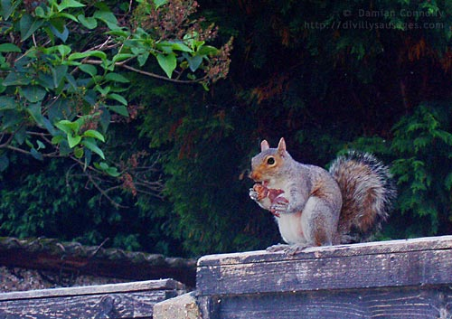 A grey squirrel eating an apple on a garden fence
